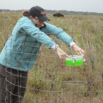 Setting aphid pan traps while a bison watches me closely